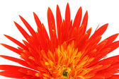 Close up of a gerbera flower over white background — Stock Photo