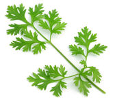 Fresh coriander leaves — Stock fotografie