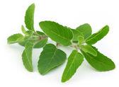 Medicinal holy basil or tulsi leaves — Stock Photo