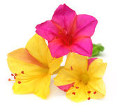 Mirabilis jalapa or sandhya moni flower of Southeast Asia — Foto Stock