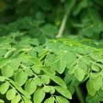 Edible moringa leaves — Stock Photo