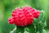 Red Moon cactus — Stock Photo