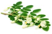 Edible moringa leaves with flower — Stock Photo