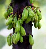 Bilimbi fruits of South East Asia — Stock Photo