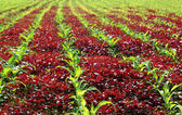 Red spinach and corn field — Stock Photo
