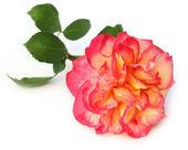 Large rose — Stock Photo