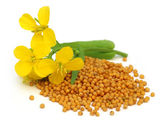 Mustard flower with seeds — Stock Photo