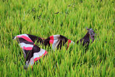 Closeup of colorful scurf of farmer on paddy field — Foto de Stock