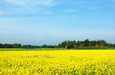 Rural musterd field in Bangladesh — Stock Photo