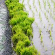 Stock Photo: Bundle of rice seedlings in rural agriculture field