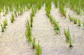 Newly planted paddy seedling in marshland — Stock Photo