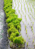 Bundle of rice seedlings in rural agriculture field — Stock Photo
