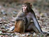 Cerca de un mono rhesus — Foto de Stock