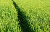 Green paddy field — Stock Photo