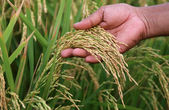 Paddy seeds holding by hand — Stock Photo
