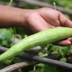 Snake gourd — Stock Photo