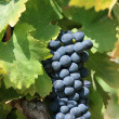 Ripe bunch of grapes on the vine — Stock Photo