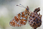Nymphalidae butterfly — Stock Photo