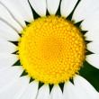 Camomile close up — Stock Photo