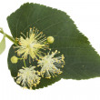 Stock Photo: Flowers of linden-tree