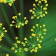 Fennel flowe. — Stock Photo