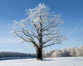 Winter oak — Stock fotografie