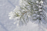 Pine twig in hoarfrost — Stock Photo