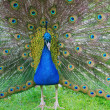 Royalty-Free Stock Photo: Peacock in display