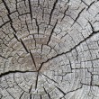 Wooden cross section - Stock Photo
