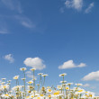 Chamomile and blue sky with clouds - Stock Photo