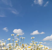 Chamomile and blue sky with clouds — Stock Photo