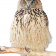 Close up of an eagle-owl looking straight at the camera. — Stock Photo