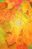 Maple leaves — Stock Photo