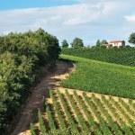 Vineyards at Chianti. — Stock Photo