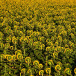 Sunflowers plantation in Tuscany. — Stock Photo