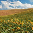 Sunflower field over hill in Tuscany. — Stock Photo