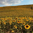 Sunflower field over hill in Tuscany. - Stock Photo