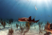 Nurse Shark — Stock Photo