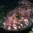 Ling Cod — Stock Photo