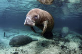West India Manatee — Stock Photo