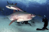 Tiger Shark — Stock Photo