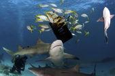 Tubarões limão — Foto Stock