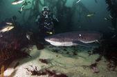 7 gill köpekbalığı — Stok fotoğraf
