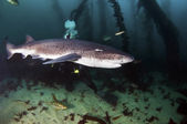 Seven Gill Shark — Stock Photo