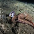 A Sarcastic Fringehead with Octopus — Stock Photo