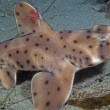 Horn Shark — Stock Photo