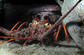 Spiny Lobster — Stock Photo