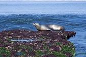 California Sea Lion — Fotografia Stock
