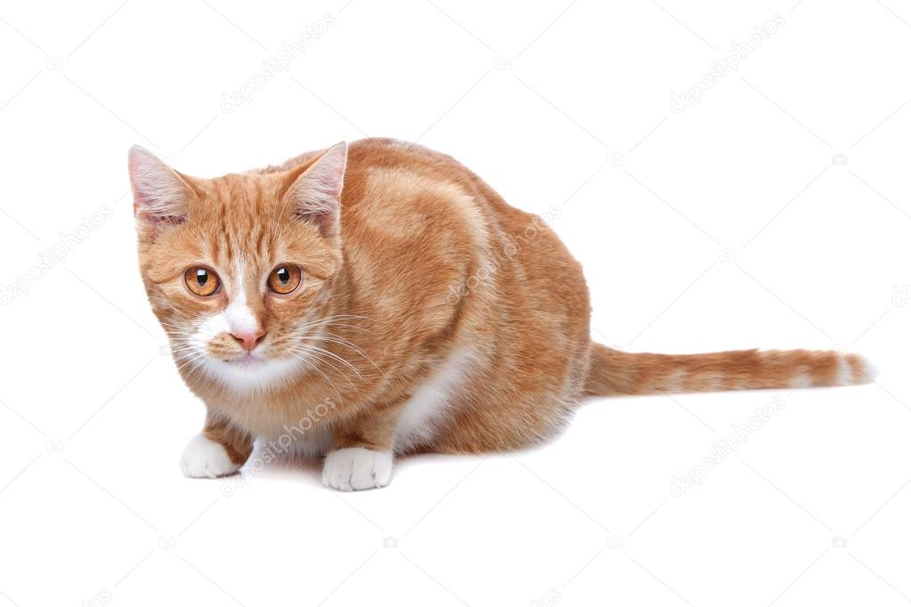 Red exotic short-haired maine coon cat in front of a white background — Stock Photo #12867718