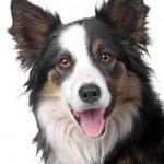 Border collie sheepdog — Stock Photo #12875571